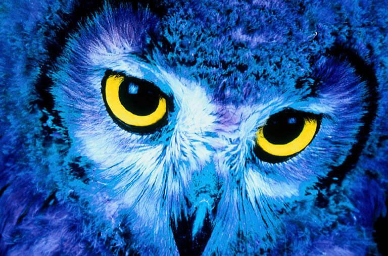 Eine Eule mit blauen Federn und großen gelben Augen